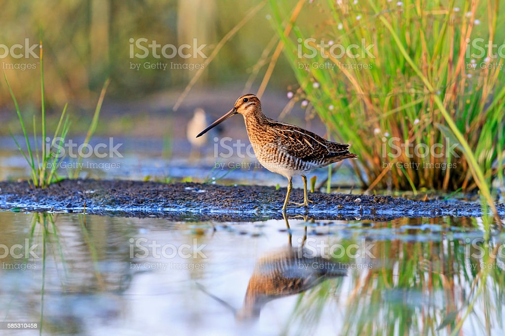snipe at the edge of the swamp stock photo