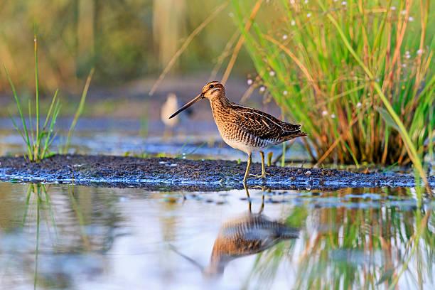 snipe at the edge of the swamp - mokradło zdjęcia i obrazy z banku zdjęć