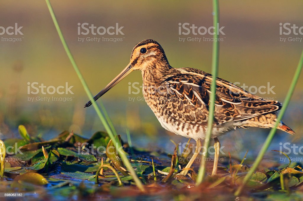 snipe at the front of the rack stock photo