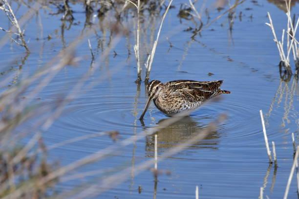 snipe bird in nature reserve Albufera stock photo