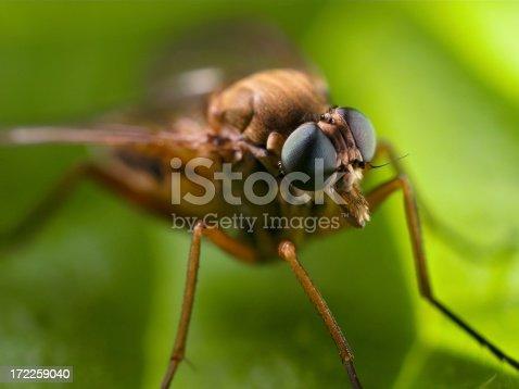 Snipe fly macro