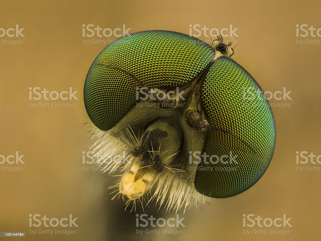 Snipe fly (Rhagionid) stock photo