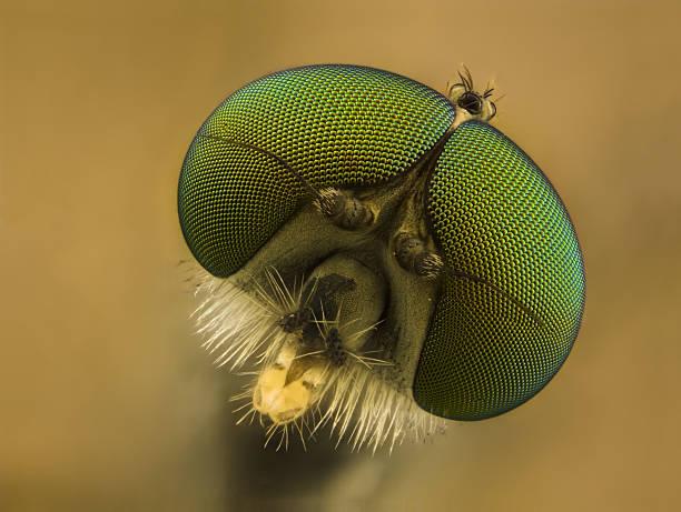 Snipe fly (Rhagionid) stock photo