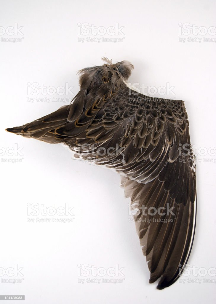 Snipe Wing royalty-free stock photo
