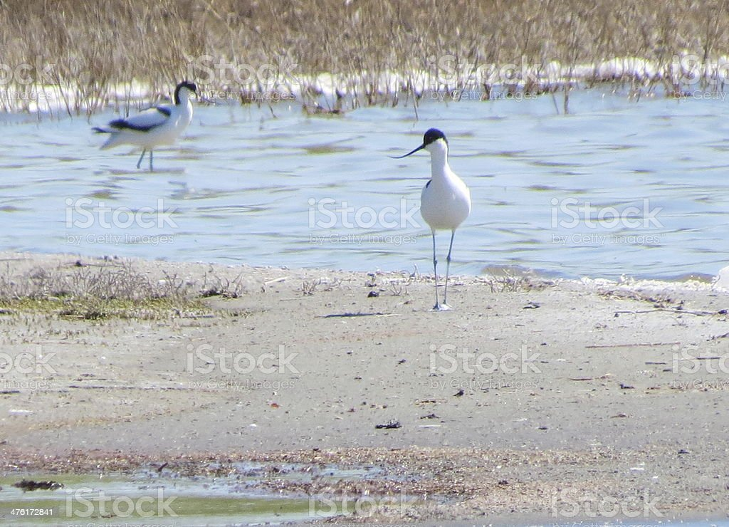 Snipes on lake royalty-free stock photo