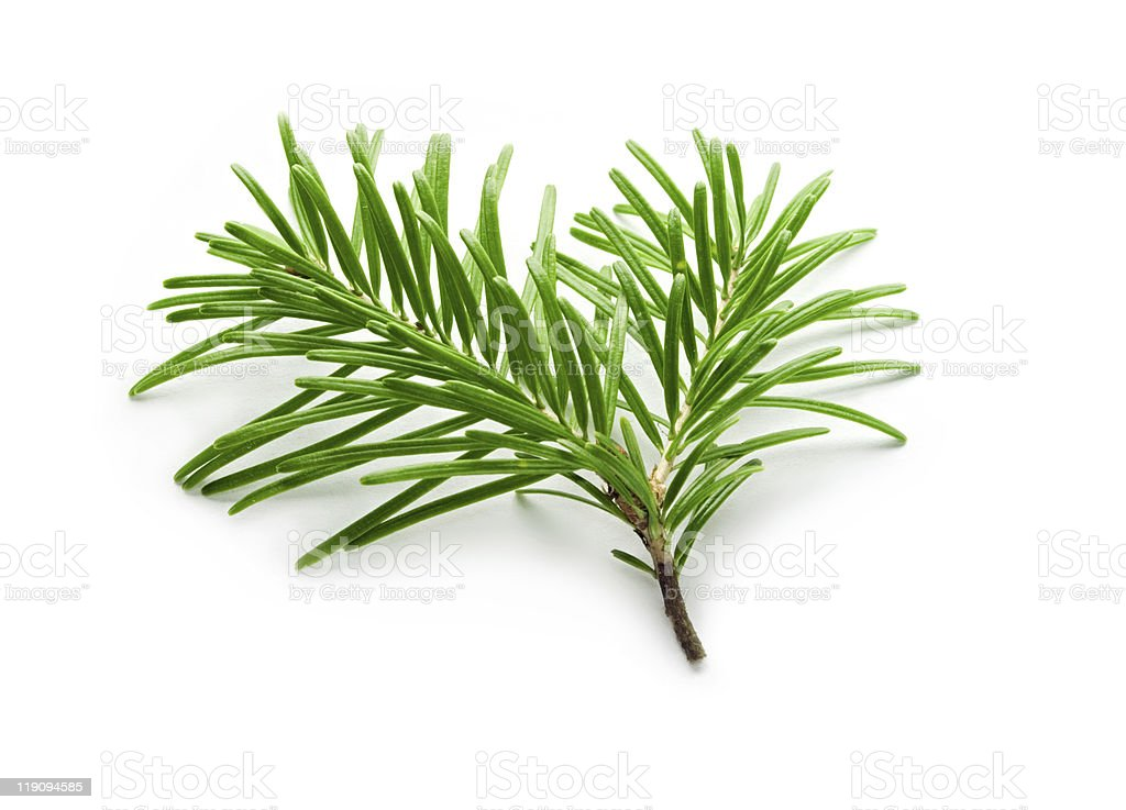 A snipping of a health fir tree royalty-free stock photo