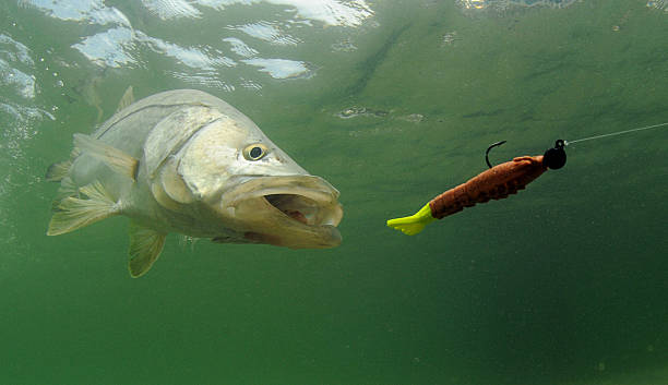 snook fish chasing lure snook fish going after lure during fishing trip fishing hook stock pictures, royalty-free photos & images