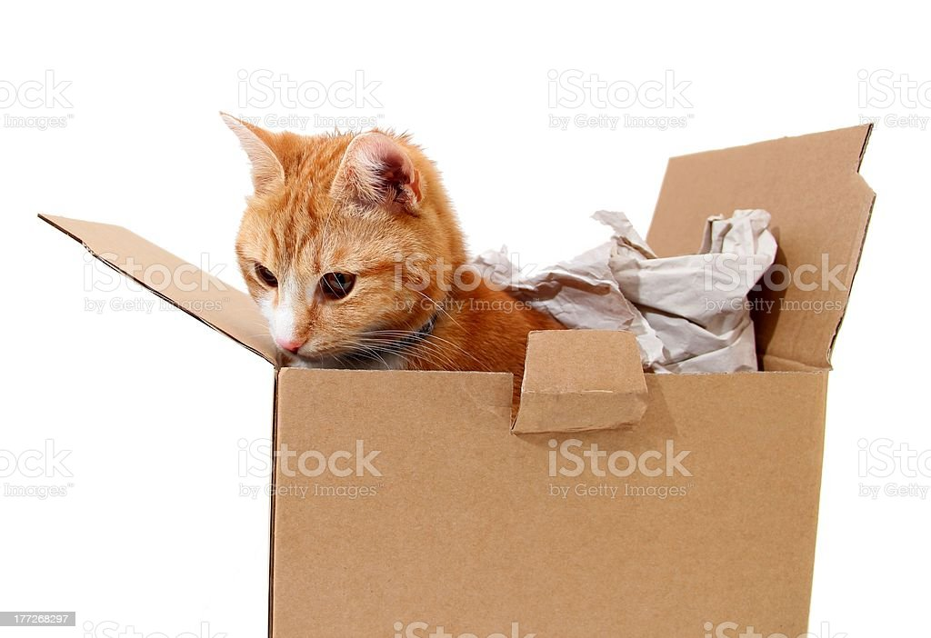 snoopy tomcat in cardboard royalty-free stock photo