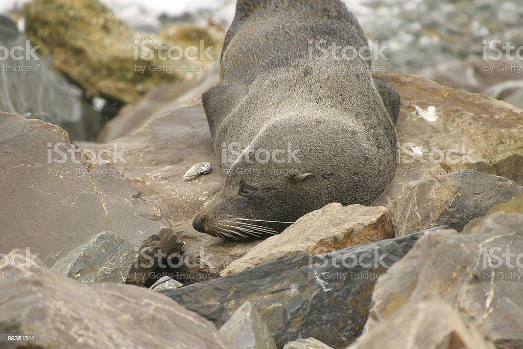 Snoozing seal royaltyfri bildbanksbilder
