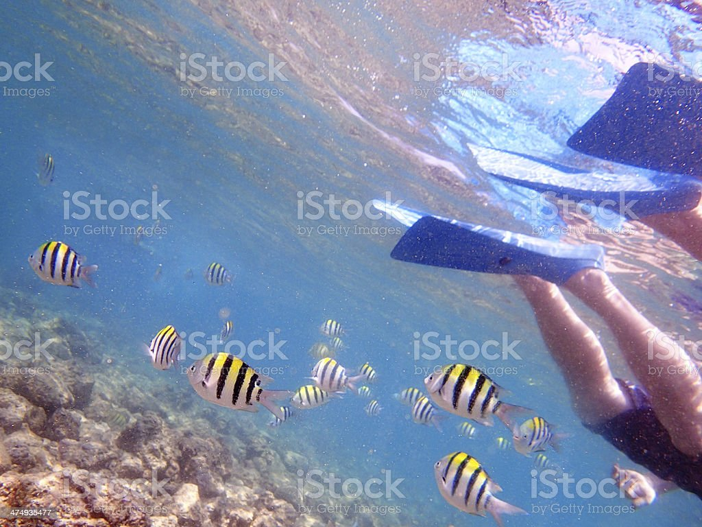 Snorkeling in Hawaii with Tropical Coral Reef Fishes royalty-free stock photo