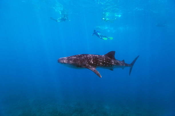Snorkeling with a whale shark Whale shark surrounded my snorkelers in Indian ocean at Maldives whale shark stock pictures, royalty-free photos & images
