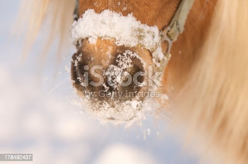 istock snout of a horse full with snow 178492437
