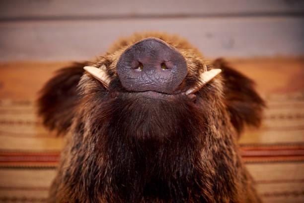 snout of a wild boar with fangs - cinghiale animale foto e immagini stock
