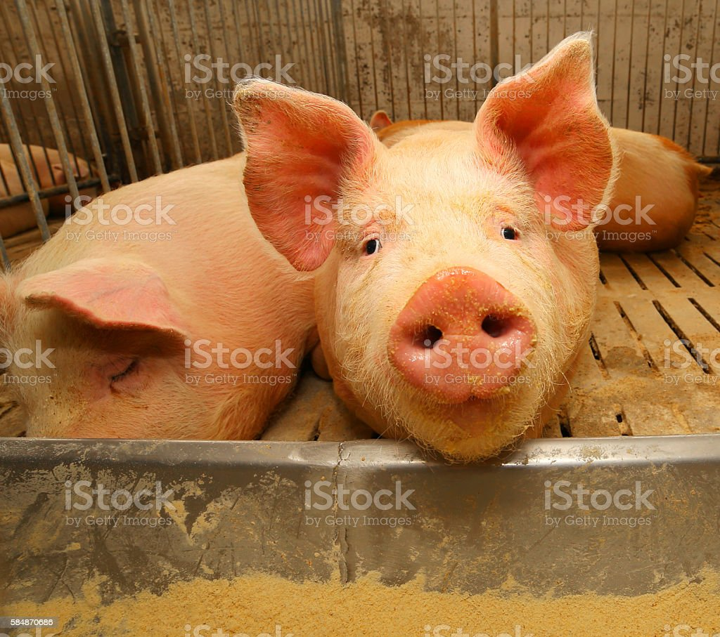 snout of the pig in the pigsty on the farm stock photo