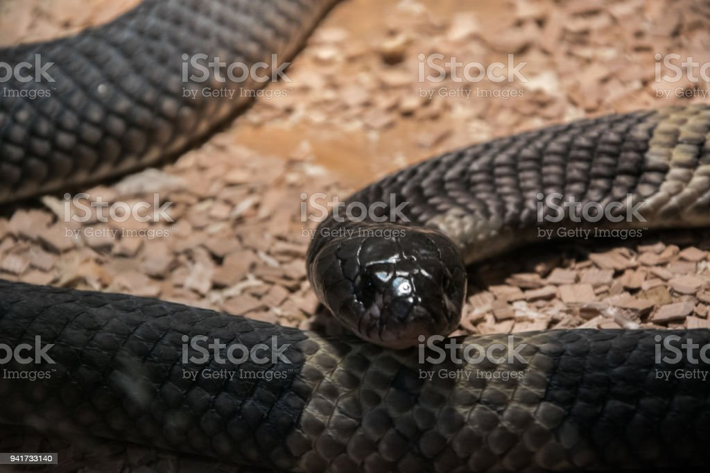 Snouted cobra (Naja annulifera), called also - banded Egyptian cobra,  highly venomous species with neurotoxic venom in terrarium stock photo