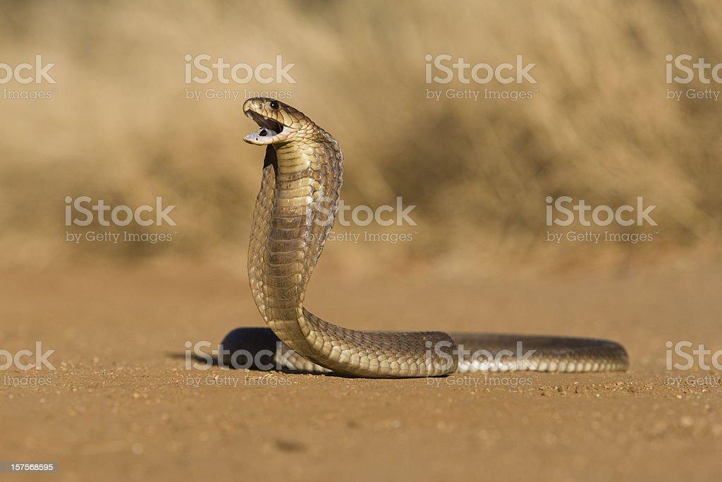 Cobra overo - foto de stock