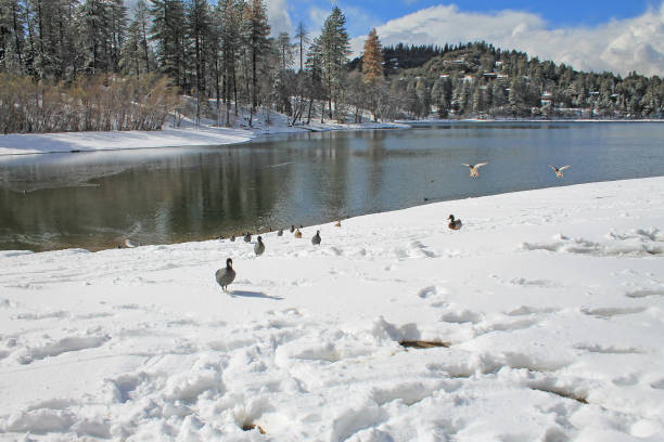 Snow and ducks at Lake Gregory, California stock photo