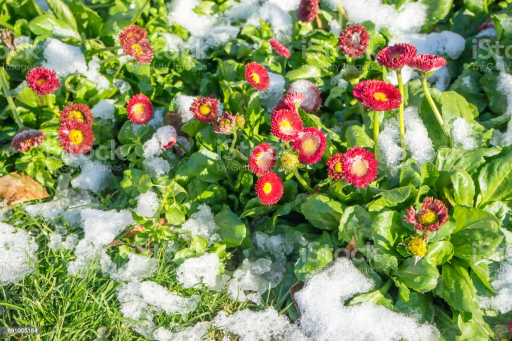 snow and flowers stock photo