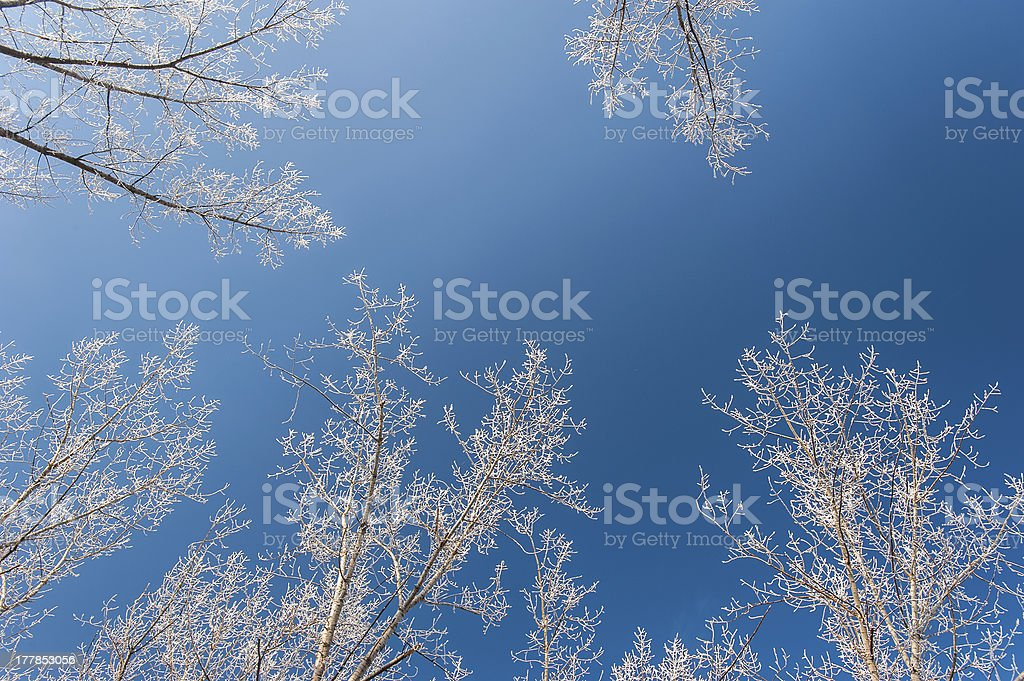 Snow and frost covered locust trees stock photo
