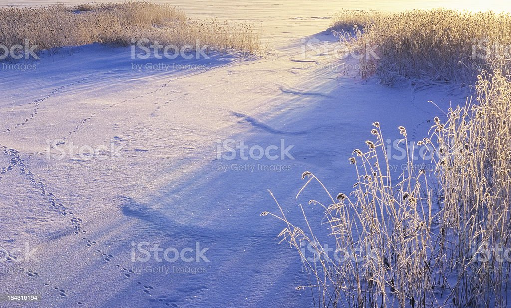 Snow and frosted reeds royalty-free stock photo
