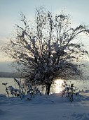Snow and ice covered tree in the winter freezing day. River Danube environment, Futog Serbia