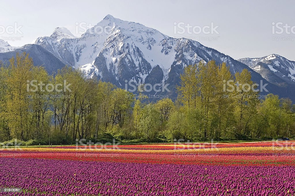 Snow and tulips stock photo