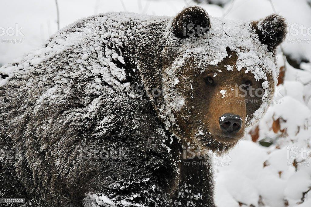 Snow Bear royalty-free stock photo
