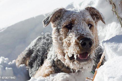 istock Snow Beard on Airedale Terrier 673077842