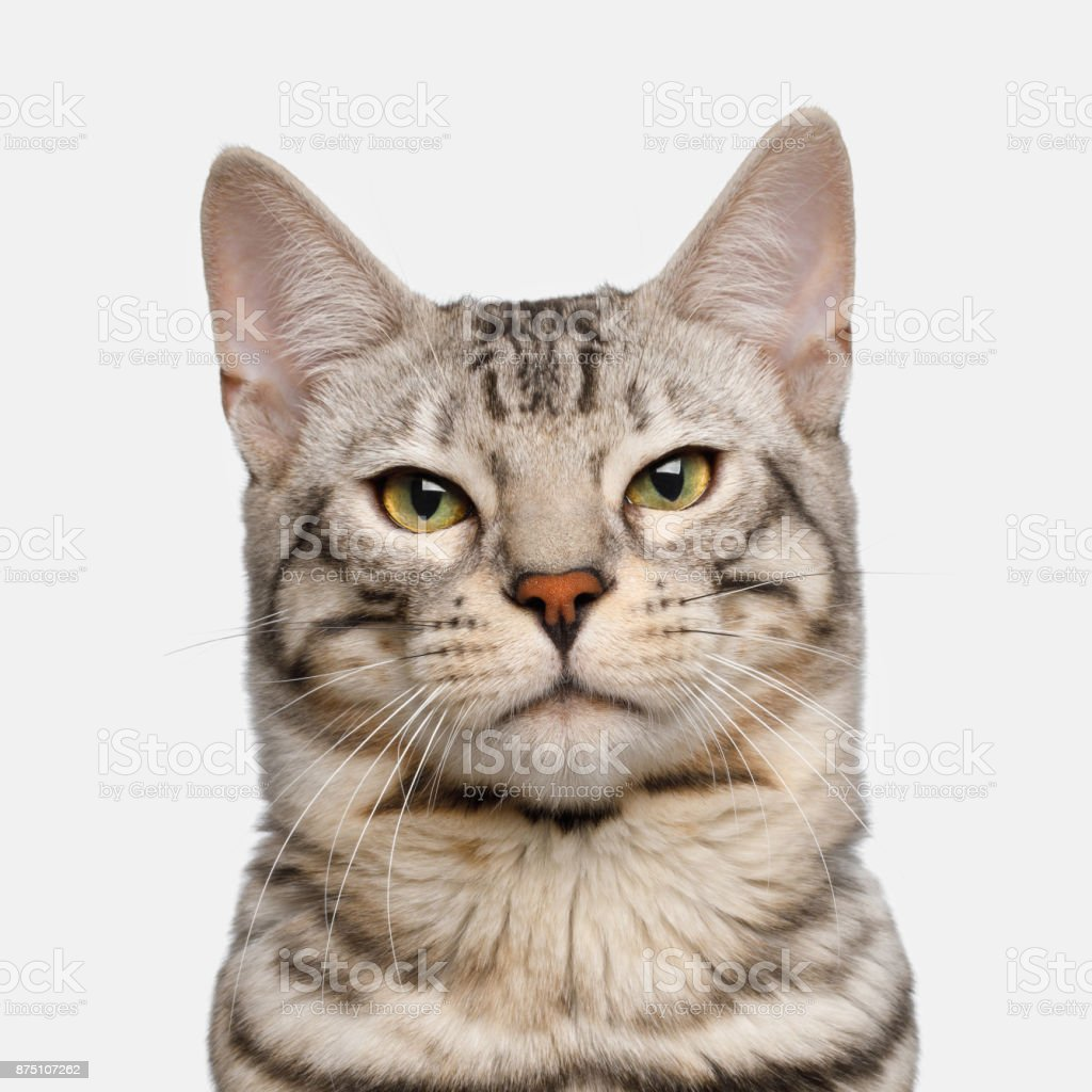 Snow Bengal Cat on White Background stock photo