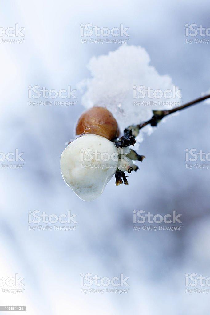 snow berry stock photo