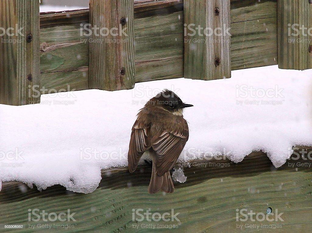 Snow Bird stock photo