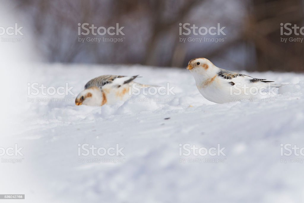 Snow Bunting royalty-free stock photo