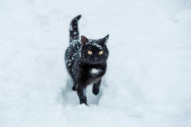 Snow cat picture id1046061922?b=1&k=6&m=1046061922&s=612x612&w=0&h=ttjppmmyc e9hio57gdzztohkzwc9a78ty7qhfqibac=