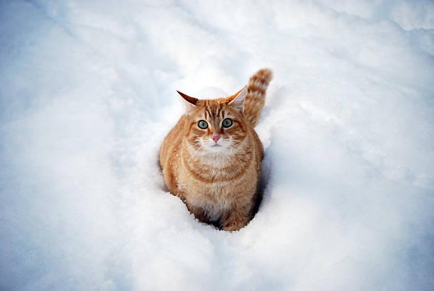 Snow cat picture id183769988?b=1&k=6&m=183769988&s=612x612&w=0&h=of stiolnbbsfsfdxikkkc51dqowf8eeyee5fn7ykmy=