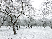 snow covered apple trees in orchard. apple orchard at winter time