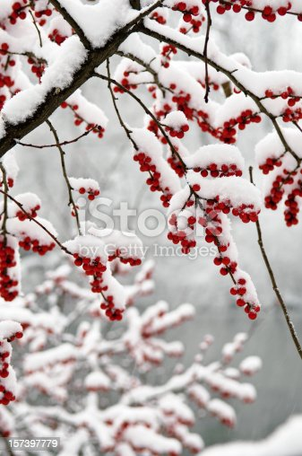 Berries covered in snow, Central Park