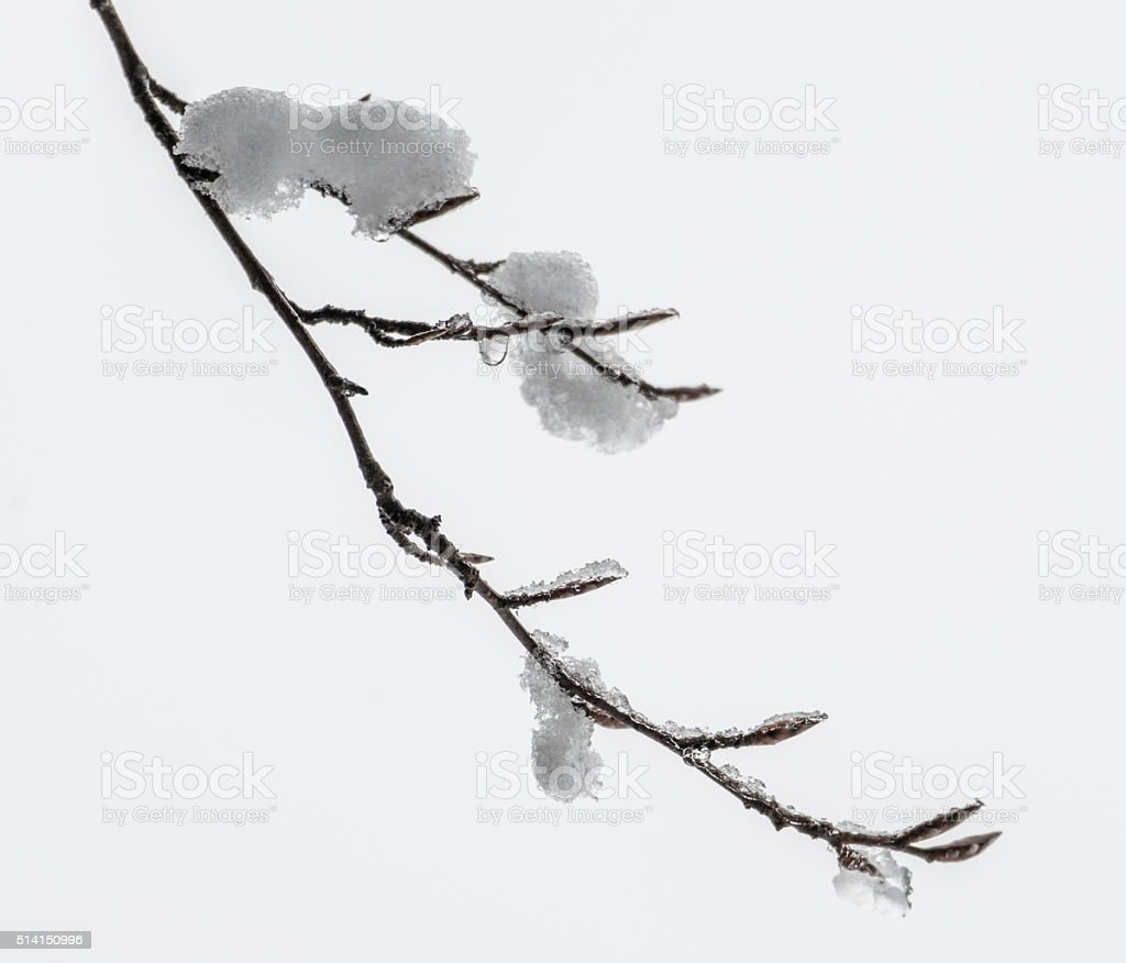 Snow covered branches and buds of Beech tree on white. stock photo