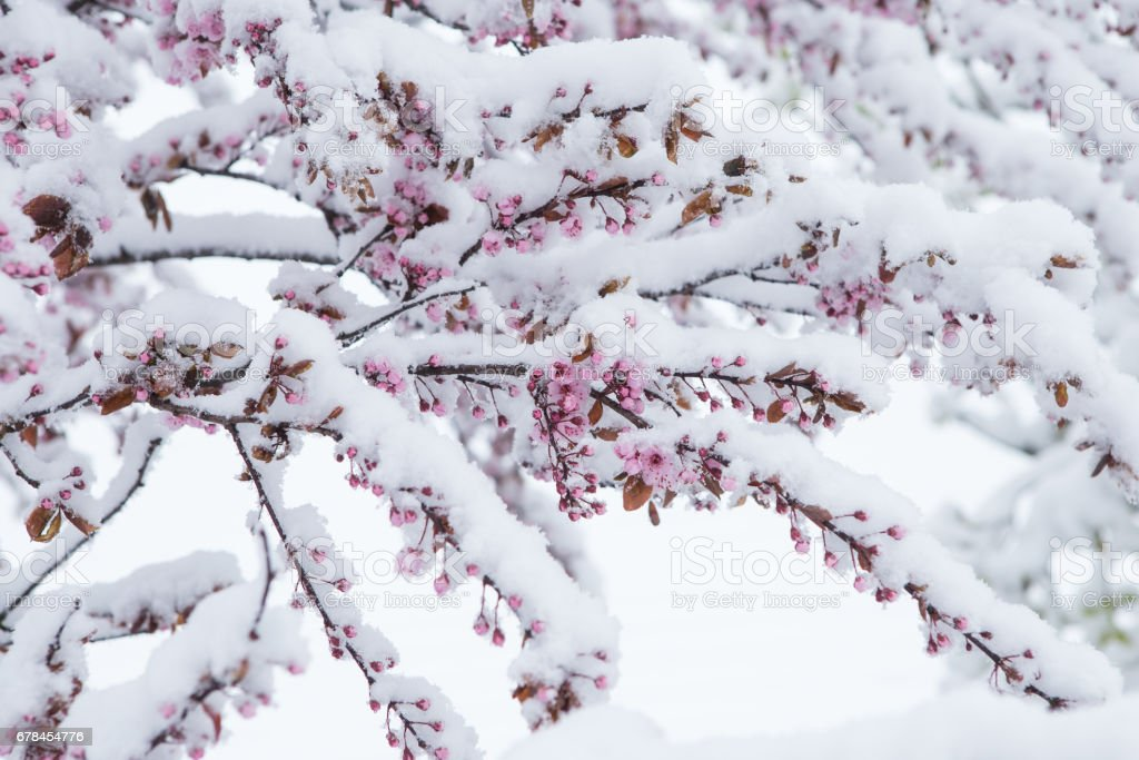 Snow covered cherry blossom in spring royalty-free stock photo