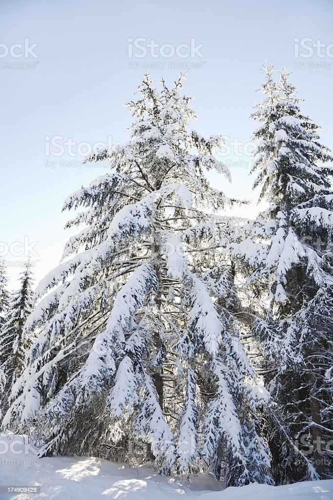 Snow covered cold winter landscape with pines and blue sky, royalty-free stock photo