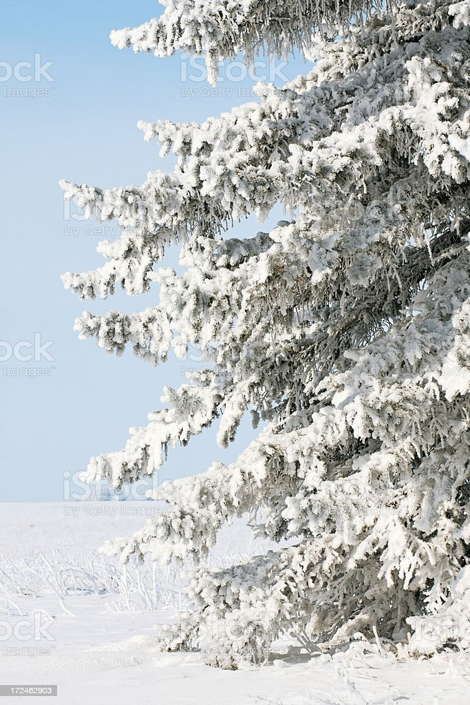 Snow Covered Evergreen Tree royalty-free stock photo