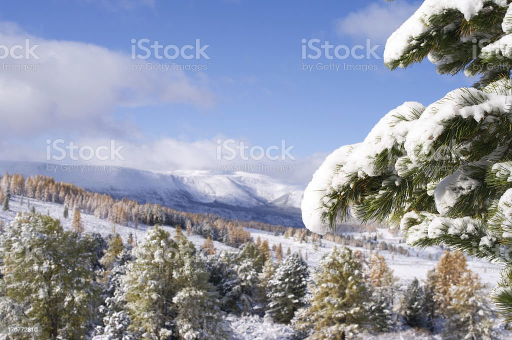 Snow covered fir branch royalty-free stock photo