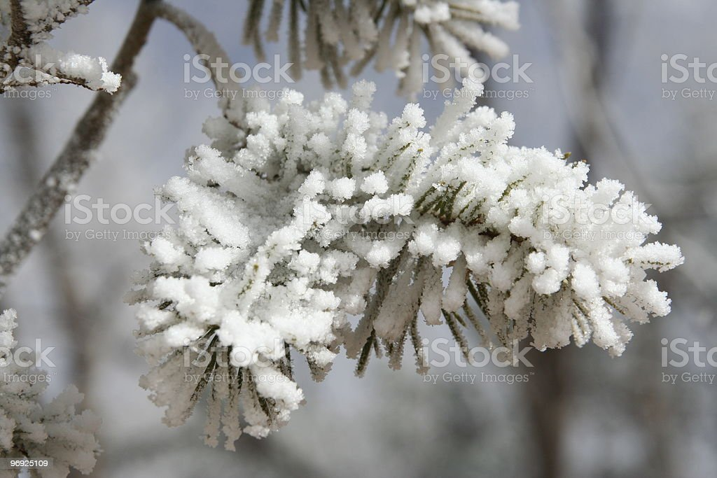Snow covered fir royalty-free stock photo