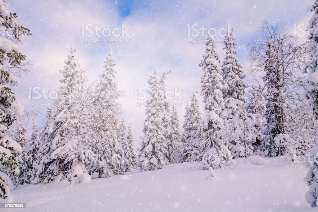 Snow covered fir trees in mountains. stock photo
