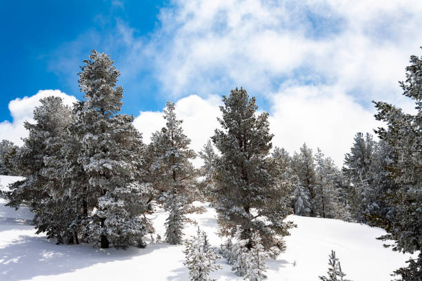 Snow covered fir trees. Panoramic view of the picturesque snowy winter landscape. stock photo