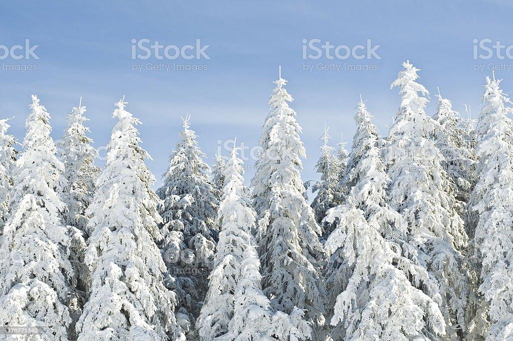 Schneebedeckte Tannen – Foto