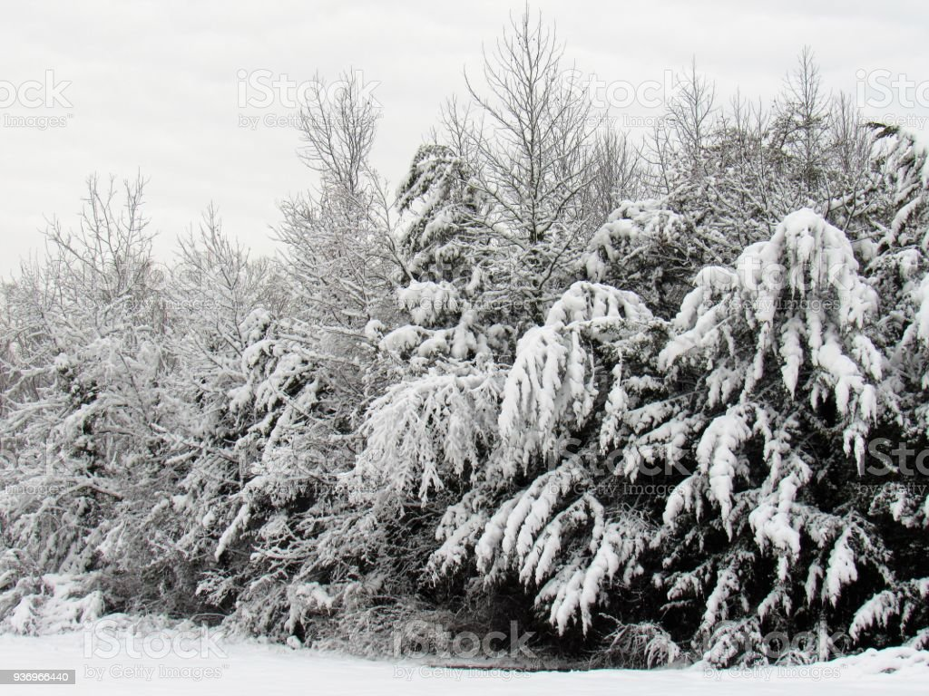 Snow Covered Forest Edge stock photo