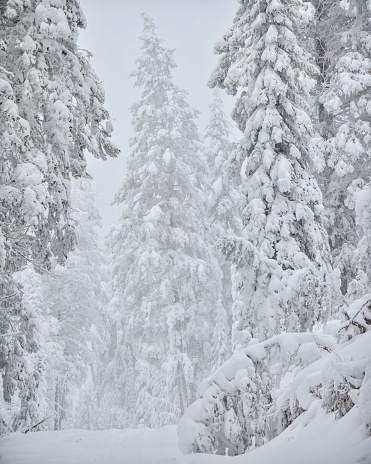 Snow Covered Forest Winter Stock Photo - Download Image Now
