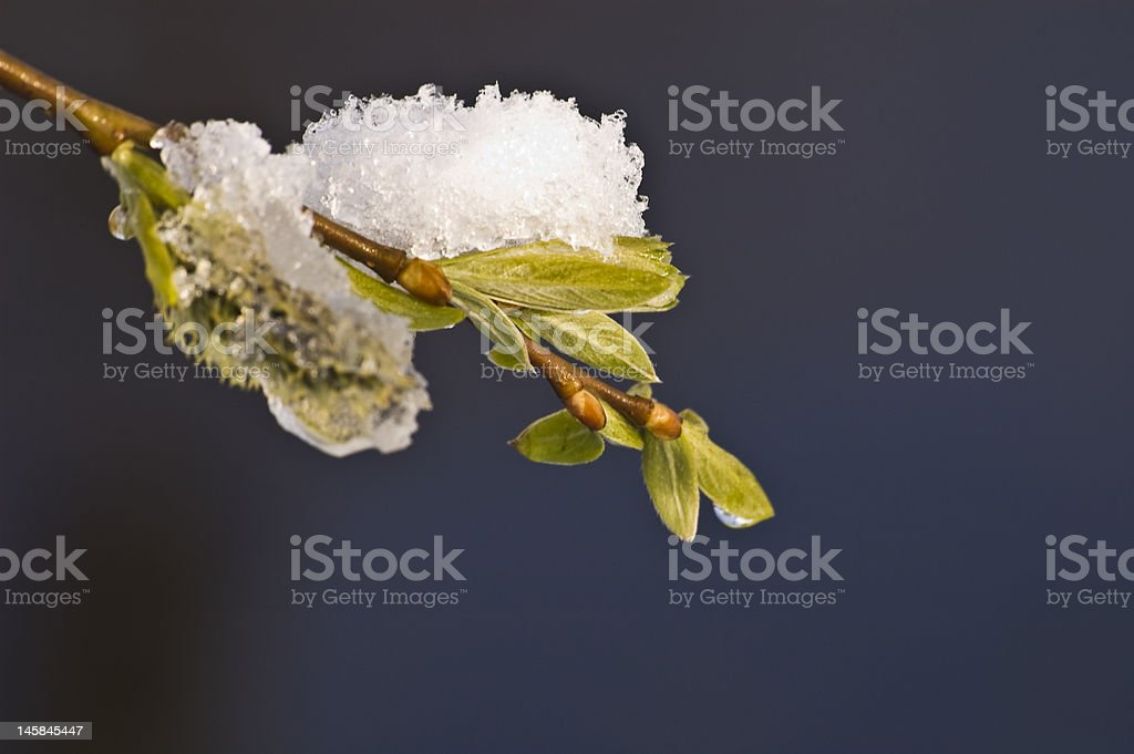 snow covered fresh green leafs stock photo
