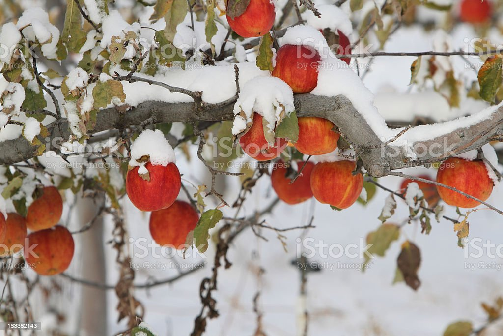 Snow covered fruit stock photo