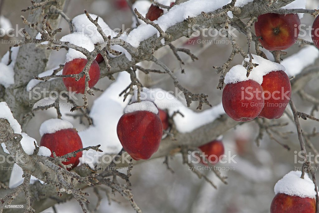 Snow covered fruit royalty-free stock photo